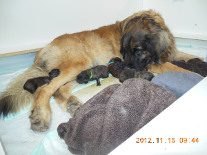 Ripple nuzzling her 5 puppies on day 2 - Nov 15, 2012