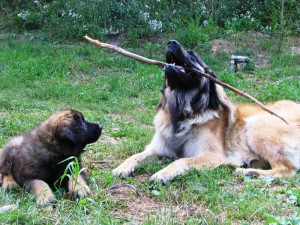 Skimmer and Ripple play with a stick